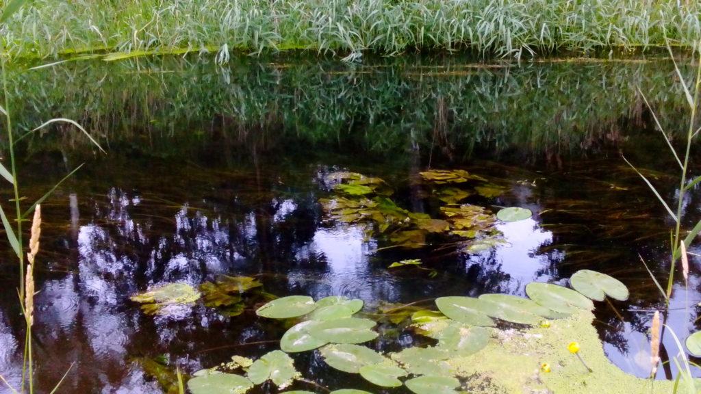 rzeka Łyna grążele