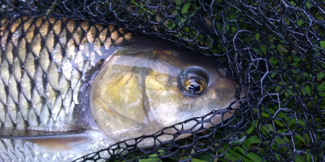 jak łowić duże ryby ? duże klenie, duży kleń, duża ryba